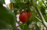 تصاویر گوجه گیلاسی یا مینیاتوری