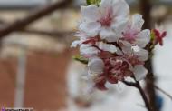 تصاویر شکوفه های بهاری